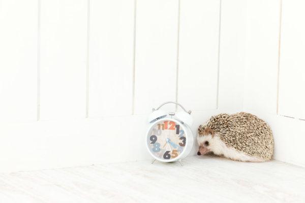 ハリネズミと目覚まし時計